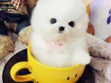纯种健康俊介犬出售 小体茶杯博美犬