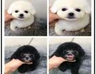 超小体韩系泰迪宝宝颜色均有 多只待售 协议售保