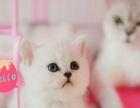 杭州地区家庭养殖金吉拉英短折耳立耳宠物猫短毛