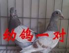 出售信鸽,成绩种鸽,公棚赛鸽