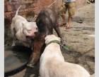 精品杜高犬低价出售 杜高犬价格