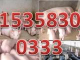 西宁市小猪苗价格行情 小猪娃养殖前景 小子猪价格行情
