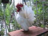 畢節出售婆羅門雞 元寶雞 也視頻挑選 可上門