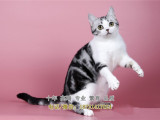 纯正家养纯种美国短毛猫虎斑猫美短加白起司猫包健康