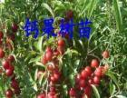 大果欧李苗、京桃树苗、小桃红苗、高接榆叶梅、五角枫