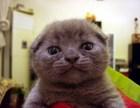 个人猫舍正规繁殖的纯种包子脸蓝猫 活泼粘人通人性