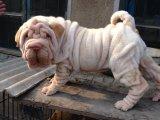 沙皮宝宝 漂亮宝贝 哪里有卖沙皮 沙皮猎犬