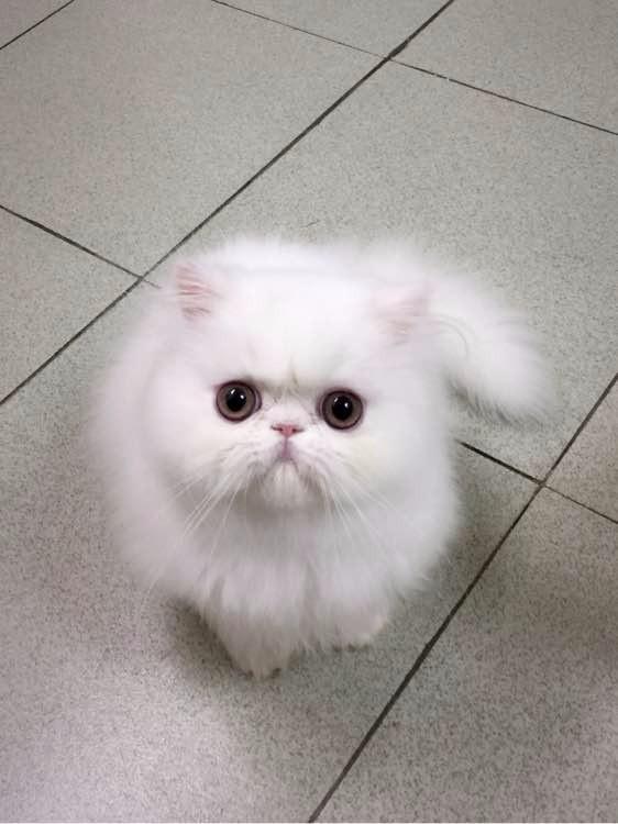 成都哪里有波斯猫卖 纯种 无病无廯 协议质保