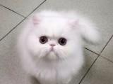广州哪里有波斯猫卖 纯种 无病无廯 协议质保