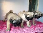 中国专业繁殖双血统八哥犬犬舍 可以上门挑选