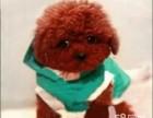 精品小玩具泰迪,毛量大,娃娃脸,颜色深红品相绝佳
