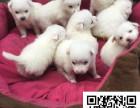 安阳哪里出售日本尖嘴犬日本尖嘴多少钱日本尖嘴图片