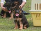 精品小德国牧羊犬低价出售 德国牧羊犬图片