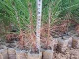 湖北湿地松苗木批发,湿地松杯苗,湿地松小苗-林之源