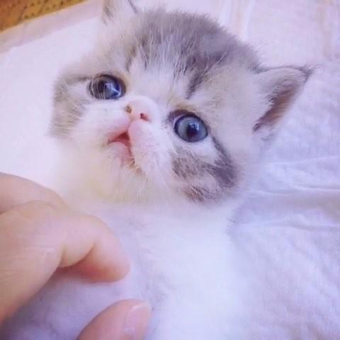 周口地区加菲猫出售