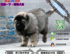 宠物店和狗市里的高加索可以买吗 健康的多少钱一只