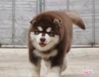 阿拉斯加幼犬 正规养殖 包健康