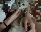 纯种美国短毛银虎斑猫