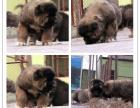 本地犬舍繁殖精品高加索犬 健康质保 放心挑选