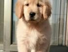 银川哪里有金毛犬出售 银川纯种金毛多少钱 银川哪里有金毛犬舍