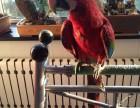 日照鹦鹉幼崽出售