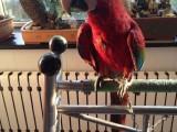 滨海新区鹦鹉幼崽出售