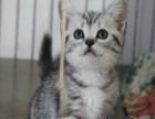 家庭养殖纯种美短猫咪 宠物猫咪美国虎斑短毛猫