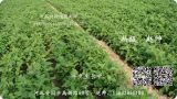 牛夕种植技术指导 中药材种植指南网
