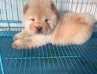 上海松狮价格 松狮图片 松狮多少钱 松狮犬舍 松狮好养吗