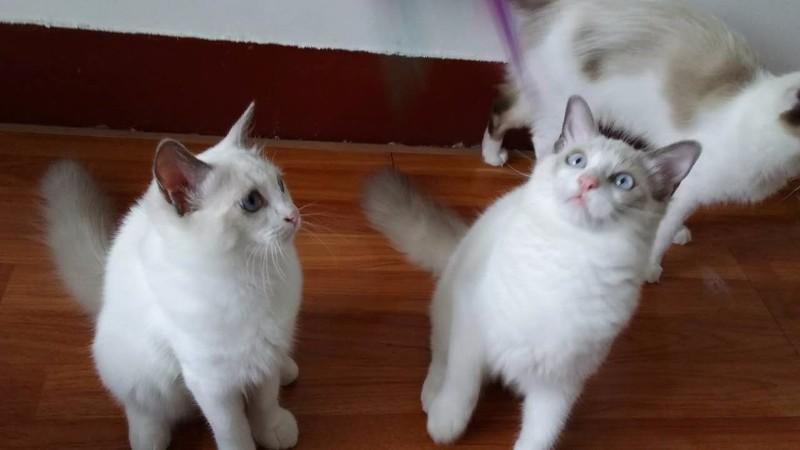 上海CFA注册猫舍新生布偶猫