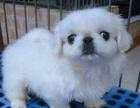 哪里有卖京巴的犬舍吗 京巴一般多少钱一只