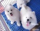 精品纯种熊版萨摩耶幼犬出售 包纯种包健康签购买协议
