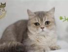 Aiou爱偶猫舍蓝金渐层成母出售