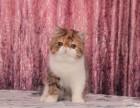 重庆猫舍直销加菲猫价格 加菲猫多少钱一只 包纯种包