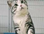 广州哪里有卖美国短毛猫价格多少 美国短毛猫大概多少钱一只