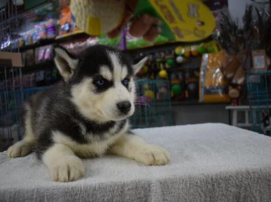 上门700一只 哈士奇幼犬 包健康 包纯种 有多条狗狗挑选