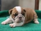 英国斗牛犬 专业繁殖 签协议包品质 欢迎实地挑选
