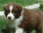 出售纯种赛级边境牧羊犬边境幼犬包血统纯保健康