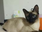 海豹色泰国暹罗猫宝宝、健康漂亮温顺、1000元低价