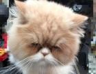 转让可爱健康的加菲猫