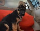 德州哪里出售纯种宠物德国牧羊犬