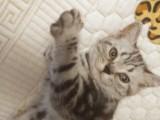 自家繁殖虎斑猫