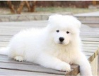 上海犬舍出售微笑天使纯种萨摩耶幼犬可上门可视频看狗