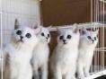 徐叔叔宠物猫短毛猫蓝猫加菲渐层 欢迎咨询