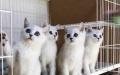 《徐叔叔宠物猫》短毛猫蓝猫加菲渐层 欢迎咨询