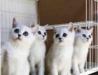 《徐叔叔宠物猫》家养蓝猫加菲渐层 欢迎咨询