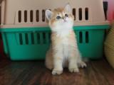 十堰美国短毛猫 美短加白起司 纯种幼猫 活体宠物猫咪