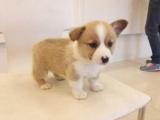 正規犬舍繁殖柯基等名犬 健康保障簽協議包活可送貨
