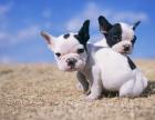 本地出售精品小短体法国斗牛犬出售,质保终生,健康纯种