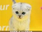 金渐层立耳活体猫咪宠物猫纯种异国短毛猫幼渐层猫活